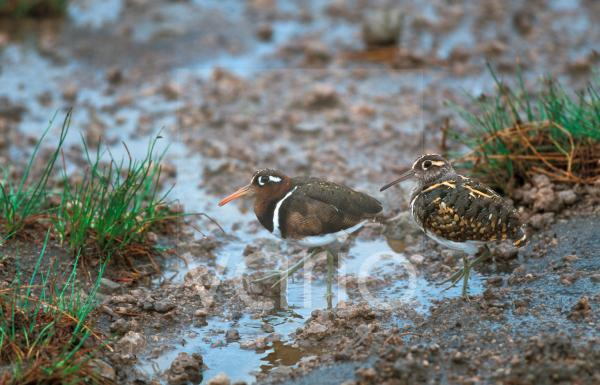 Greater Painted-snipe (Rostratula benghalensis) adult pair, standing in mud, Africa