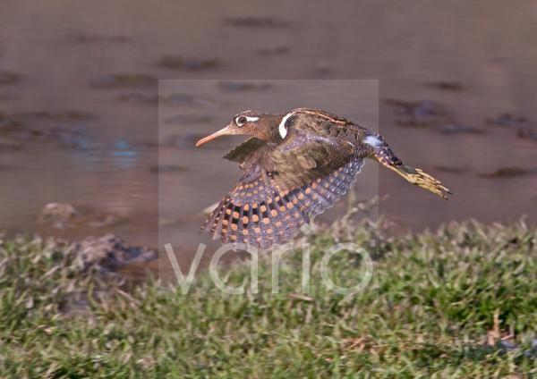 Greater Painted-snipe (Rostratula benghalensis) adult female, in flight, taking off beside water, Rajasthan, India, january