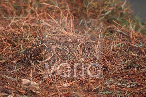 Greater Painted-snipe (Rostratula benghalensis) adult male, standing amongst vegetation, Keoladeo Ghana N.P. (Bharatpur), Rajasthan, India, november