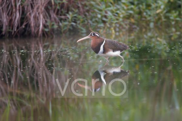 Greater Painted-snipe (Rostratula benghalensis) adult female, standing in shallow water with reflection, Hong Kong, China, February