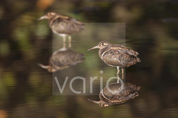 Greater Painted-snipe (Rostratula benghalensis) two adult males, standing in shallow water with reflections, in mangrove swamp, Gambia, February