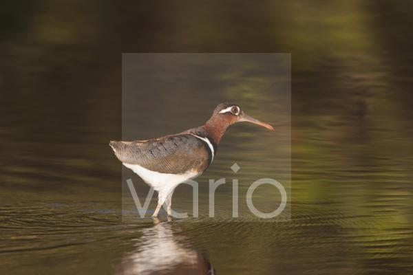 Greater Painted-snipe (Rostratula benghalensis) adult female, walking in shallow water, in mangrove swamp, Gambia, February