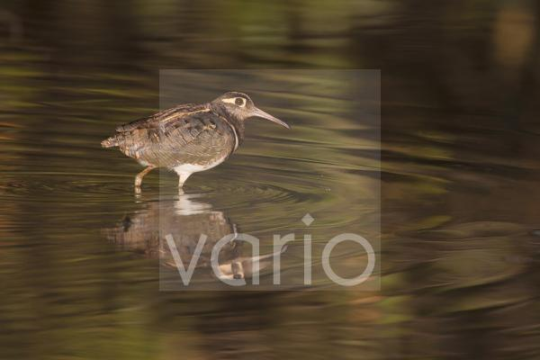Greater Painted-snipe (Rostratula benghalensis) adult male, walking in shallow water with reflection, in mangrove swamp, Gambia, February
