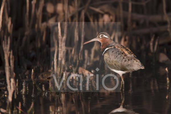 Greater Painted-snipe (Rostratula benghalensis) adult female, standing in shallow water, in mangrove swamp, Gambia, February