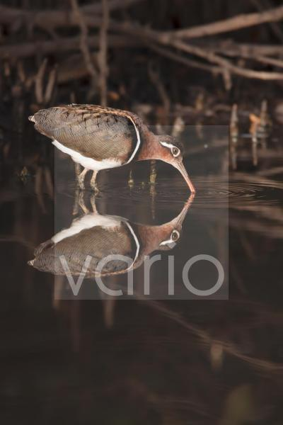 Greater Painted-snipe (Rostratula benghalensis) adult female, feeding in shallow water with reflection, in mangrove swamp, Gambia, February