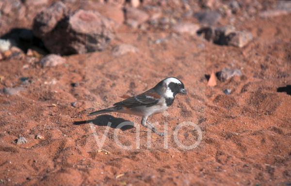 Cape Sparrow (Passer melanurus) Male / Namibia