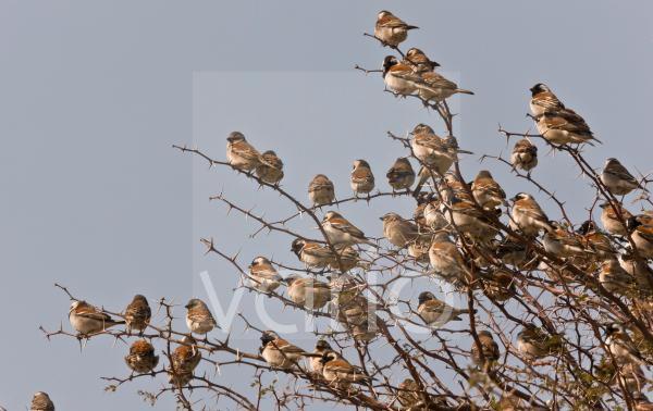 Cape Sparrow Passer melanurus adult males and females, flock perched in thorn bush, Kalahari Desert, Kalahari Gemsbok N.P., Kgalagadi Transfrontier Park, Northern Cape Province, South Africa, August