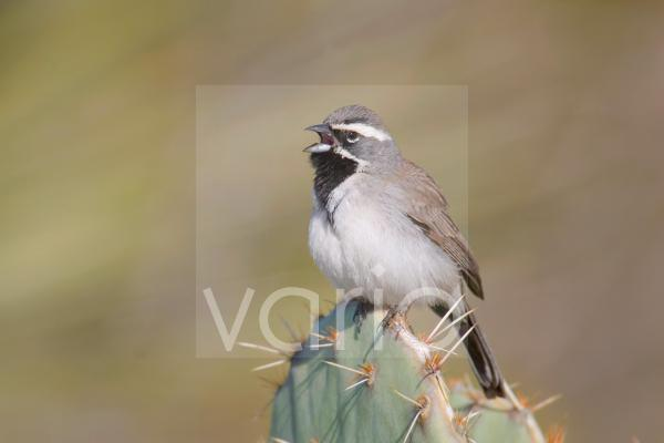 Black-throated Sparrow (Amphispiza bilineata) adult male, singing, perched on prickly pear cactus, U.S.A.