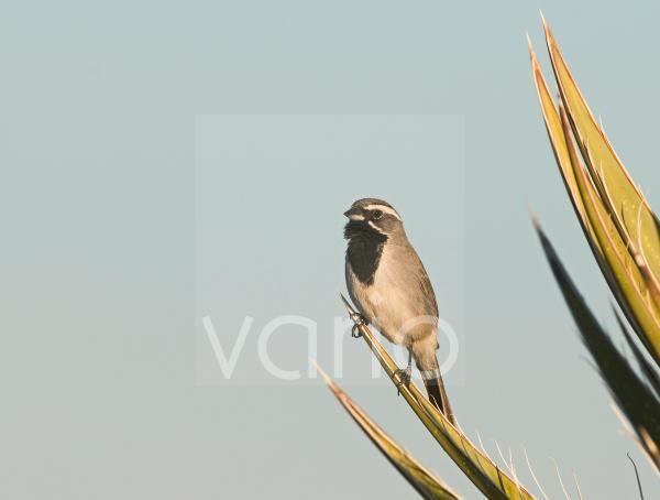 Black-throated Sparrow (Amphispiza bilineata) adult male, perched on yucca leaf, Joshua Tree N.P., California, U.S.A., april