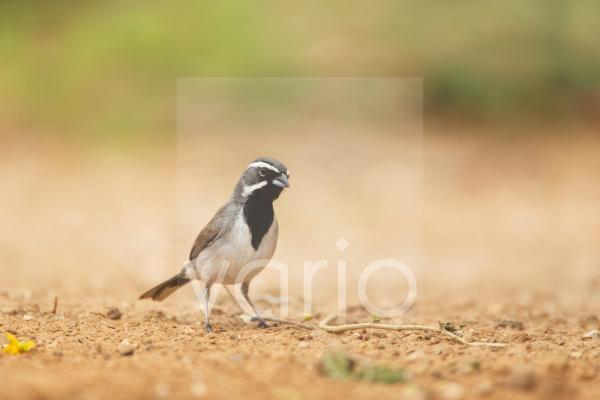 Black-throated Sparrow (Amphispiza bilineata) adult, standing on ground, South Texas, U.S.A., may
