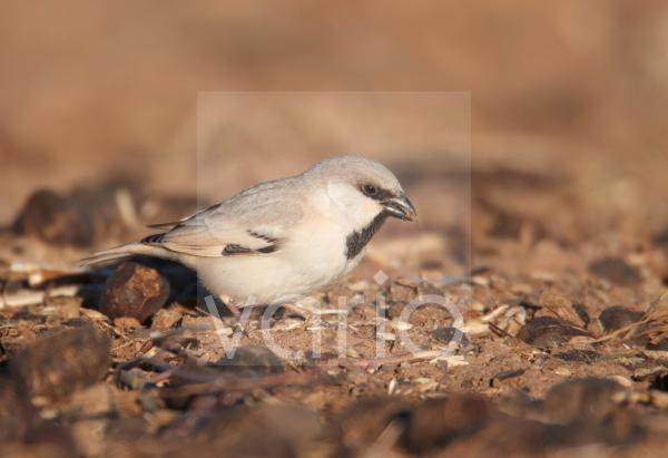 Desert Sparrow (Passer simplex) adult male, feeding on ground, Erg Chebbi, Morocco, february