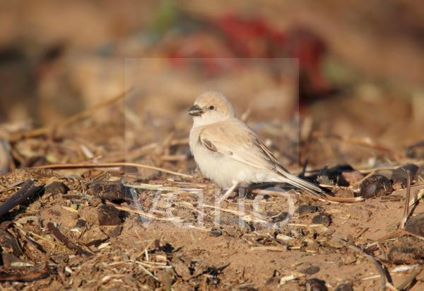Desert Sparrow (Passer simplex) adult female, feeding on ground, Erg Chebbi, Morocco, february