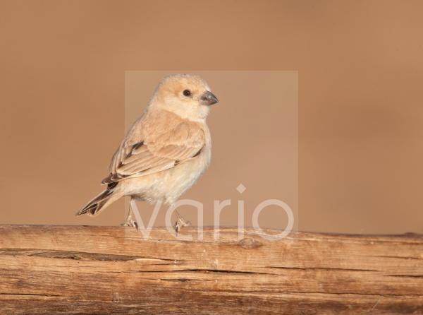 Desert Sparrow (Passer simplex) adult female, perched on wooden camel feeder, Erg Chebbi, Morocco, february