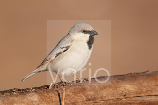 Desert Sparrow (Passer simplex) adult male, perched on wooden camel feeder, Erg Chebbi, Morocco, february