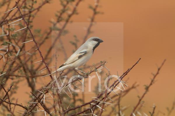 Desert Sparrow (Passer simplex) adult male, perched on thorny twig, Morocco, March