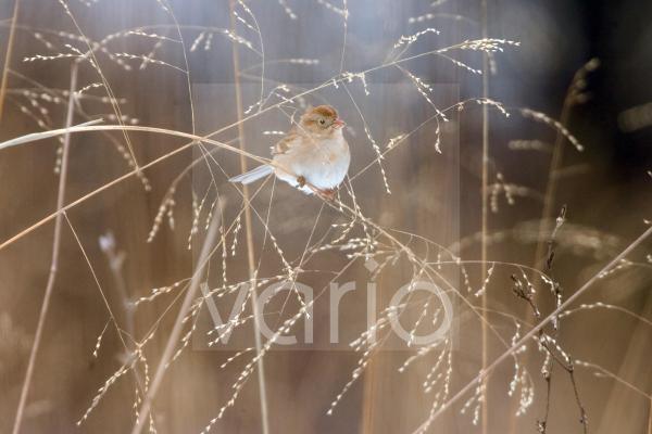 Field Sparrow (Spizella pusilla) adult, feeding, perched on grass stem, U.S.A., winter