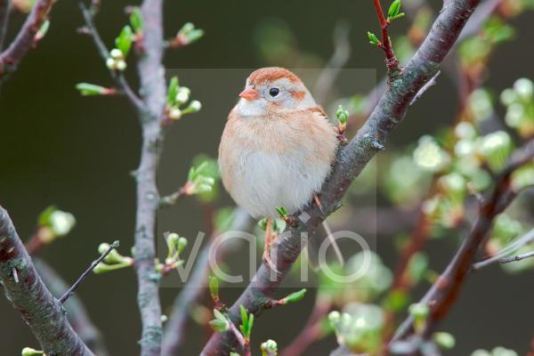 Field Sparrow (Spizella pusilla) adult, perched on branch, U.S.A., spring