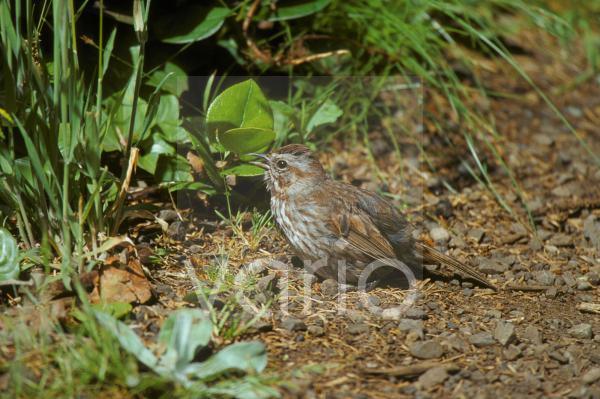 Fox Sparrow (Passerella iliaca)   Washington State, USA.