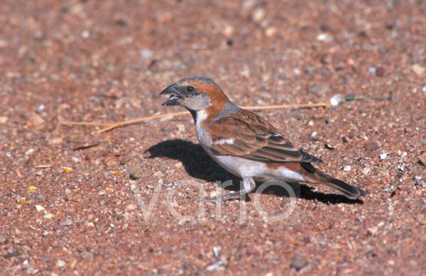 Great Sparrow (Passer motitensis) Male / Namibia