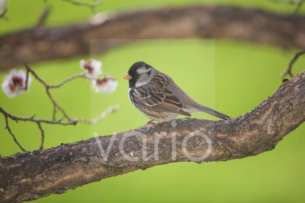 Harris's Sparrow (Zonotrichia querula) adult, perched on branch, North Dakota, U.S.A., may
