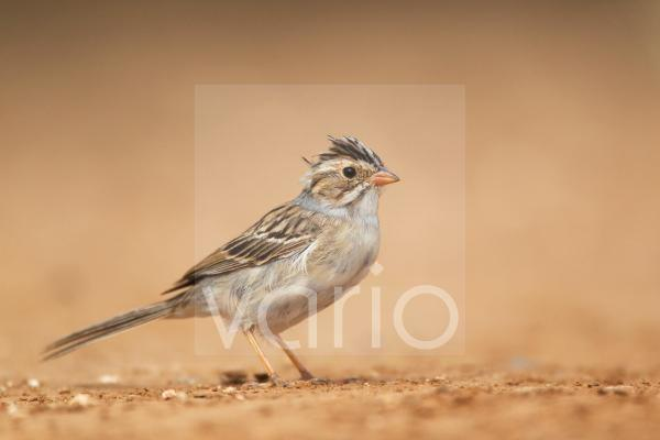 Clay-coloured Sparrow (Spizella pallida) adult, standing on ground, South Texas, U.S.A., may