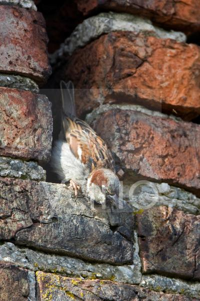 House Sparrow (Passer domesticus) adult male, perched at hole in brick building, Howden, Yorkshire, England, may