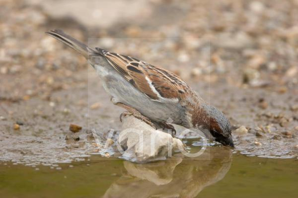 House Sparrow (Passer domesticus) adult male, drinking, Norfolk, England, summer