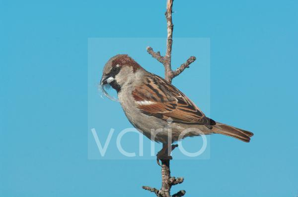 House Sparrow (Passer domesticus) adult male, with feather nesting material in beak, perched on twig, Lesvos, Greece, april