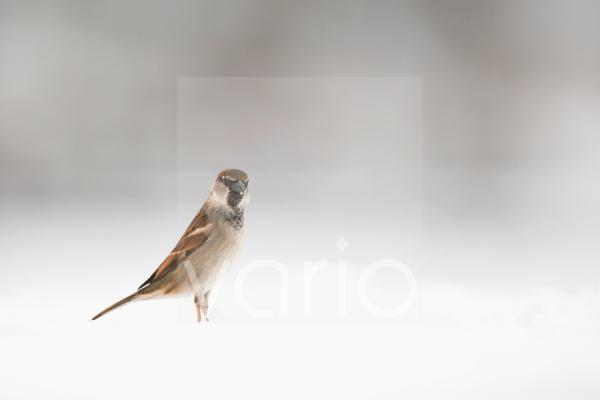House Sparrow (Passer domesticus) adult male, standing on snow covered ground, Derbyshire, England, february