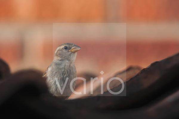House Sparrow (Passer domesticus) juvenile, perched on tiled roof, Norfolk, England, july
