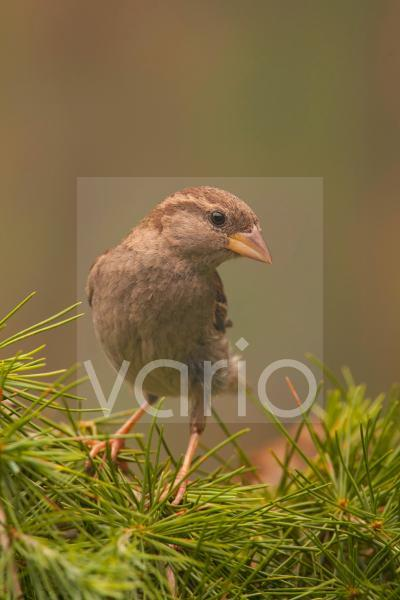 House Sparrow (Passer domesticus) adult female, perched on hedge, Norfolk, England, july