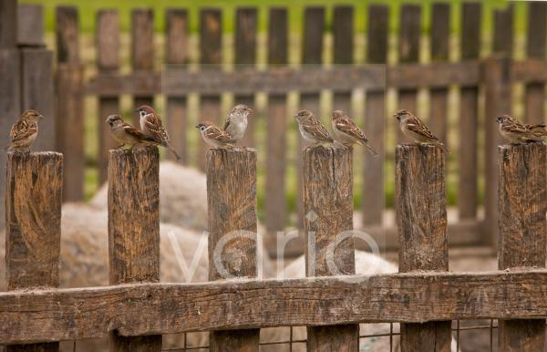 House Sparrow (Passer domesticus) and Eurasian Tree Sparrow (Passer montanus) mixed flock, perched on fence beside Mangalitza Domestic Pigs, Hortobagy N.P., Great Plain, Eastern Hungary, october