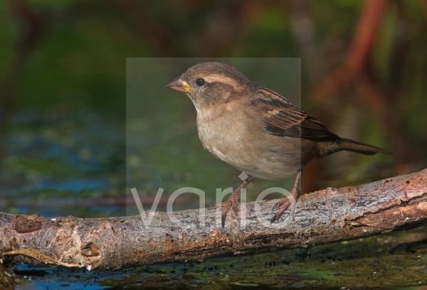 House Sparrow (Passer domesticus) adult female, perched on branch over water, Norfolk, England, october