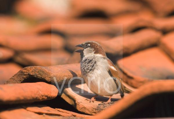 House Sparrow (Passer domesticus) adult male, chirping, standing on roof tiles, Norfolk, England, april