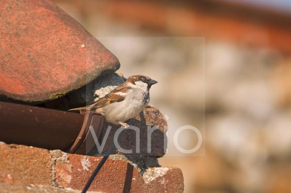 House Sparrow (Passer domesticus) adult male, perched on cable beside roof, Norfolk, England, april