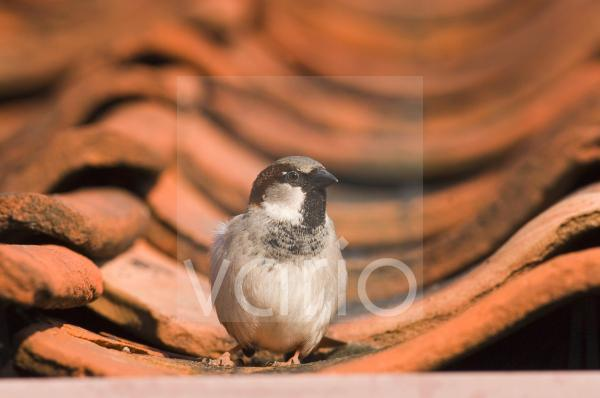 House Sparrow (Passer domesticus) adult male, standing on roof tiles, Norfolk, England, april