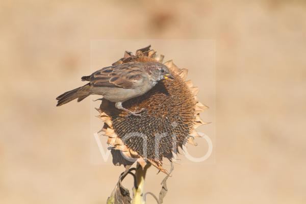 House Sparrow (Passer domesticus) adult male, feeding on sunflower seeds, Northern Spain, september