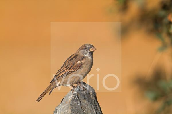 House Sparrow (Passer domesticus) adult male, perched on rock, Northern Spain, september