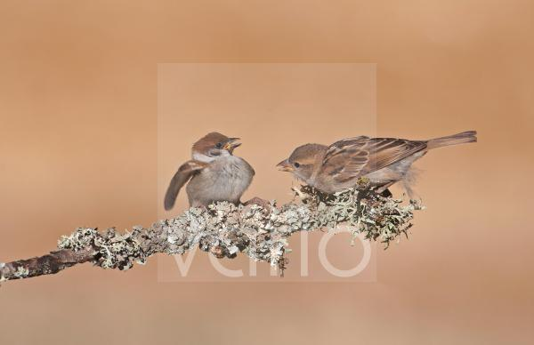 House Sparrow (Passer domesticus) adult female, showing aggression towards Eurasian Tree Sparrow (Passer montanus) juvenile, perched on twig, Northern Spain, july