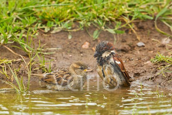 House Sparrow (Passer domesticus) adult pair, bathing in puddle on farmland, Warwickshire, England, june