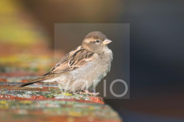 House Sparrow (Passer domesticus) adult female, perched on brick wall, Elmley Marshes Nature Reserve, Isle of Sheppey, Kent, England, november
