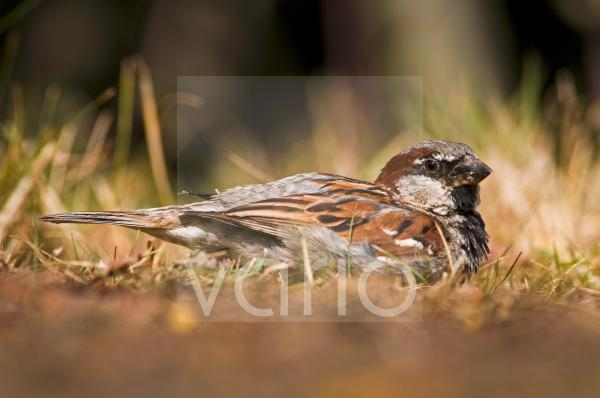 House Sparrow (Passer domesticus) adult male, dust-bathing, Elmley Marshes National Nature Reserve, North Kent Marshes, Isle of Sheppey, Kent, England, july