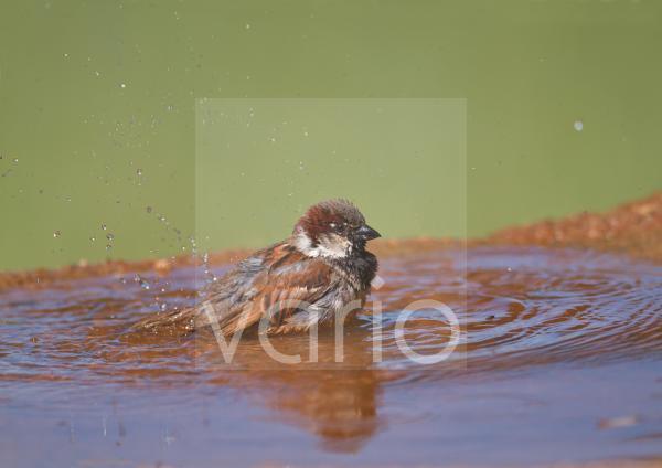 House Sparrow (Passer domesticus) adult male, bathing in pool, Castilla y Leon, Spain, may