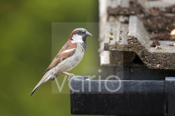 House Sparrow (Passer domesticus) adult male, with food in beak, perched on guttering of tiled roof, Staffordshire, England, August