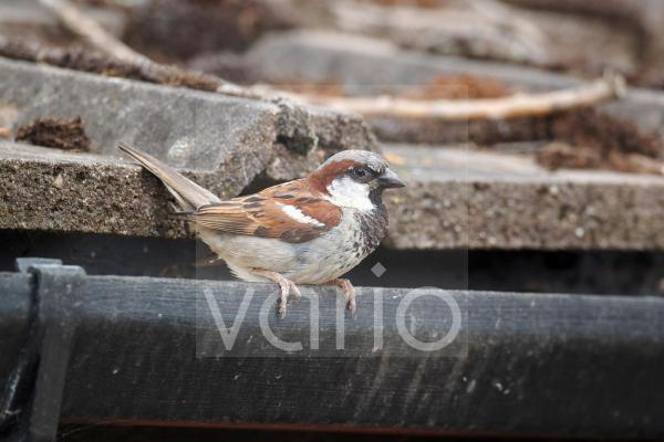 House Sparrow (Passer domesticus) adult male, perched on guttering of tiled roof, Staffordshire, England, August