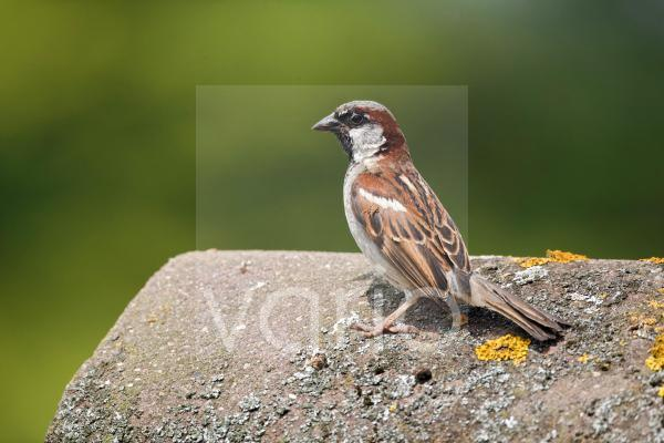 House Sparrow (Passer domesticus) adult male, standing on tiled roof, Staffordshire, England, August