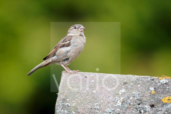 House Sparrow (Passer domesticus) adult female, standing on tiled roof, Staffordshire, England, August