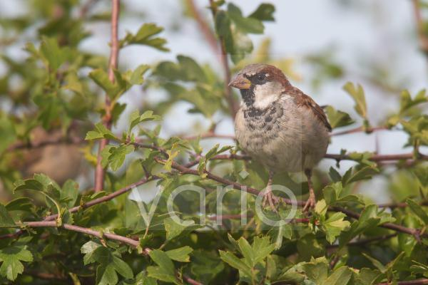 House Sparrow (Passer domesticus) adult male, perched on hawthorn twig in hedgerow, Berwickshire, Scottish Borders, Scotland, September
