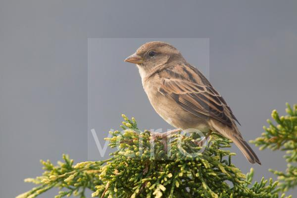 House Sparrow (Passer domesticus) adult female, perched on conifer in garden, Berwickshire, Scottish Borders, Scotland, September