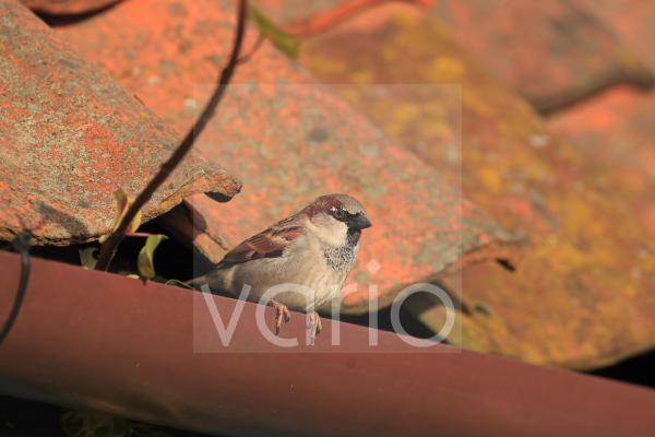 House Sparrow (Passer domesticus) adult male, perched on roof guttering, Norfolk, England, February